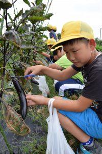 ナスを収穫する児童