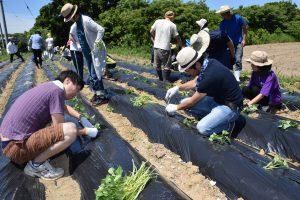 試験圃場へのイモつる植え付けを行う参加者ら