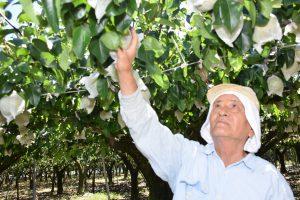 梨収穫に取り組む生産者の尾崎さん