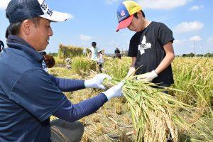 稲作青年部の農家とともに稲穂を束ねる子ども
