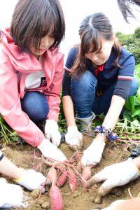 サツマイモの収穫に取り組む学生ら