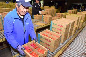 小牧センターで選果作業に取り組む生産者