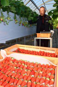 イチゴ収穫風景