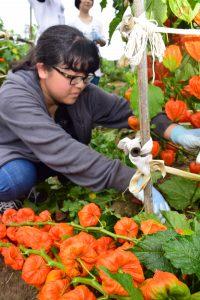 ホオズキの収穫作業に取り組む三浦彩花さん