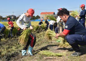 生産者と一緒に刈り取った稲をひもで結ぶ児童