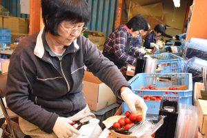 ミニトマトの房を切り揃える選果人
