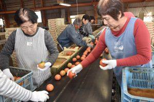大玉トマトの選果作業に取り組む選果人