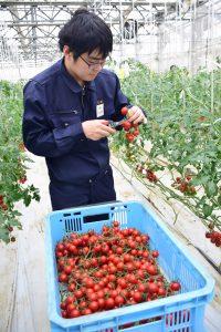 ミニトマトの収穫を体験する内定者