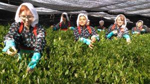 茶摘み披露セレモニーに参加する外国人女性