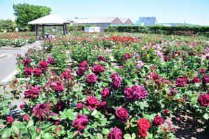 野外庭園は5月7日現在で6分咲き