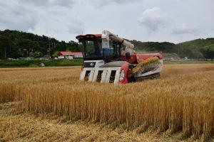 コンバインでの麦収穫